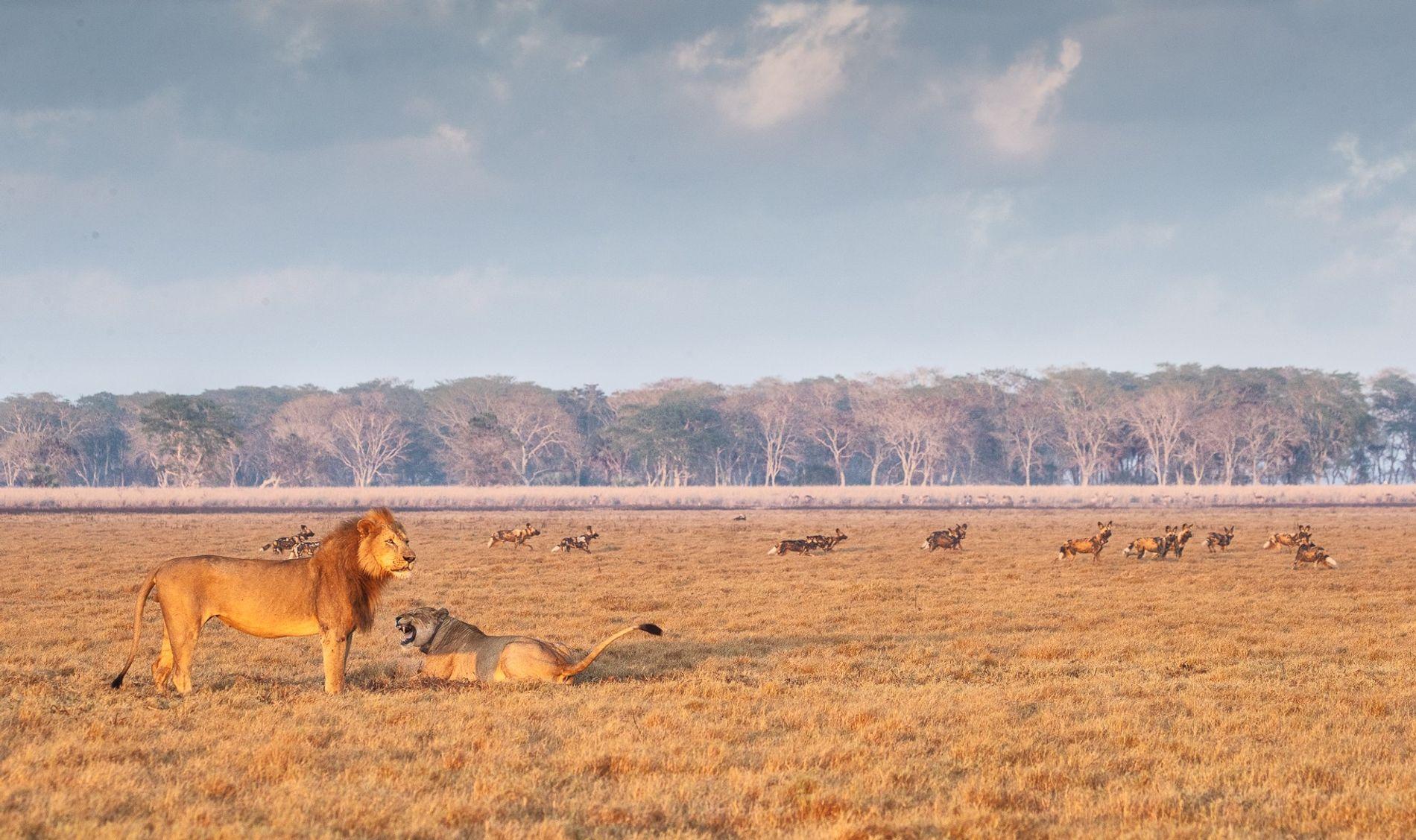 Il est désormais possible d'observer des lions et des lycaons, aussi connus sous le nom de chiens sauvages, à Gorongosa.