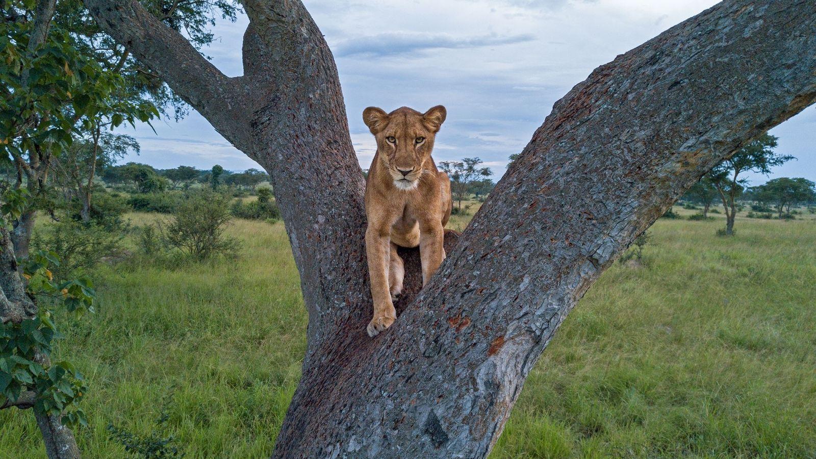 Une lionne se repose dans un arbre dans le parc national Queen Elizabeth, en Ouganda. Alors que ...