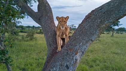 Combien de lions reste-t-il en Afrique ?