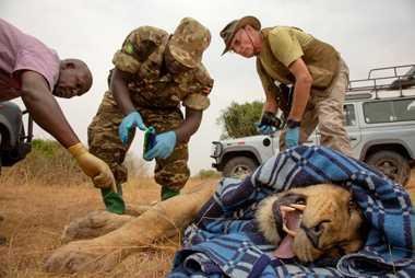 Les chercheurs et les rangers ont doté un lion mâle d'un nouveau collier satellite dans le ...