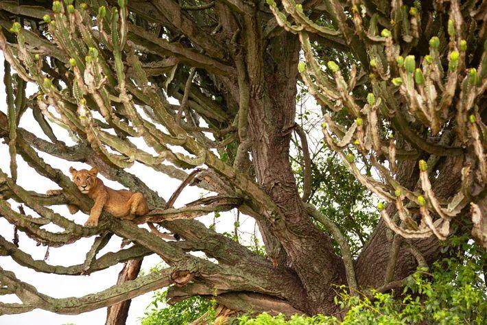 Un lionceau est posé dans un arbre dans le parc national Queen Elizabeth. À partir de 2017, ...