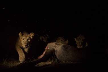 Un jeune lion se régale d'un cobe à croissant et déclenche un piège photographique. En collectant des photos ...