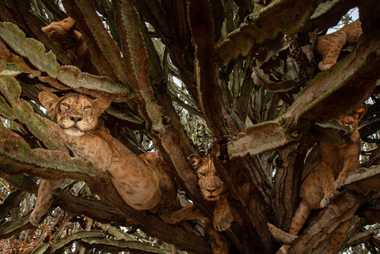 Des petits de six mois se détendent dans un arbre. Bien que les scientifiques ne soient pas ...
