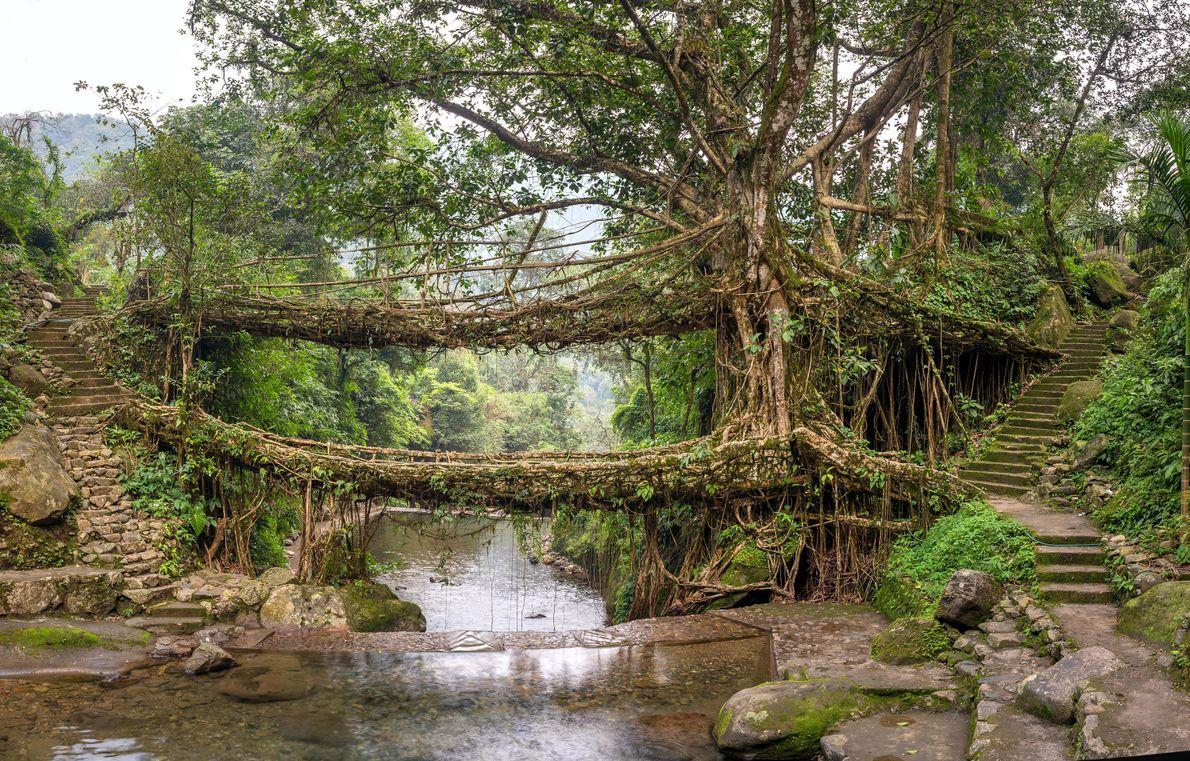 Umshiang est un pont de racines à deux étages, et bientôt trois. Il peut supporter le ...
