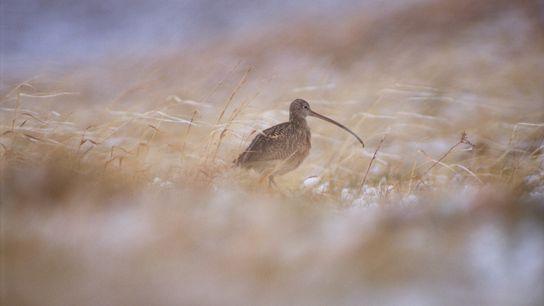 Un tiers des courlis à long bec suivis par les chercheurs dans une aire de conservation ...