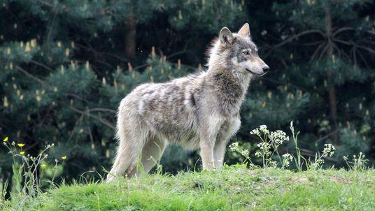 Ours et loups : l'abattage serait contre-productif
