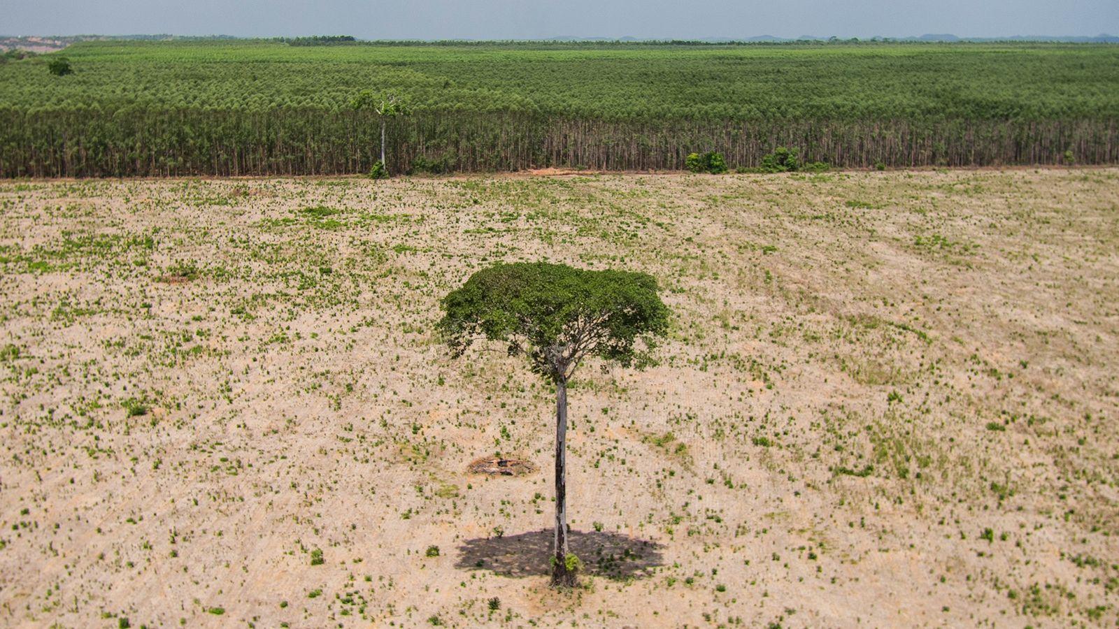 Un arbre feuillu se dresse, solitaire, dans une zone déboisée de Maranhão au Brésil, à l'extrémité ...