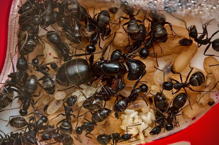 queen ant eating