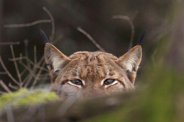 Les yeux dans les yeux avec le Lynx Boréal, un mâle que Guillaume François suit depuis ...