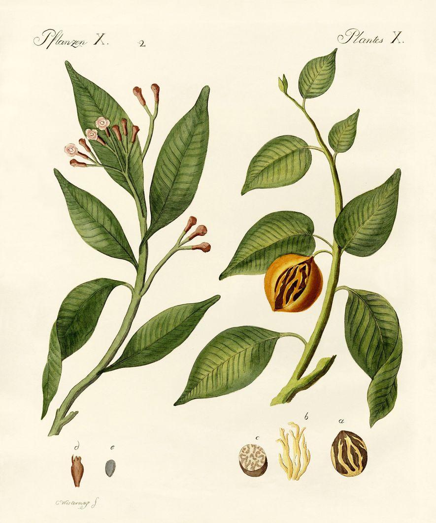 À l'époque de Magellan, les épices telles que les clous de girofle et la noix de ...