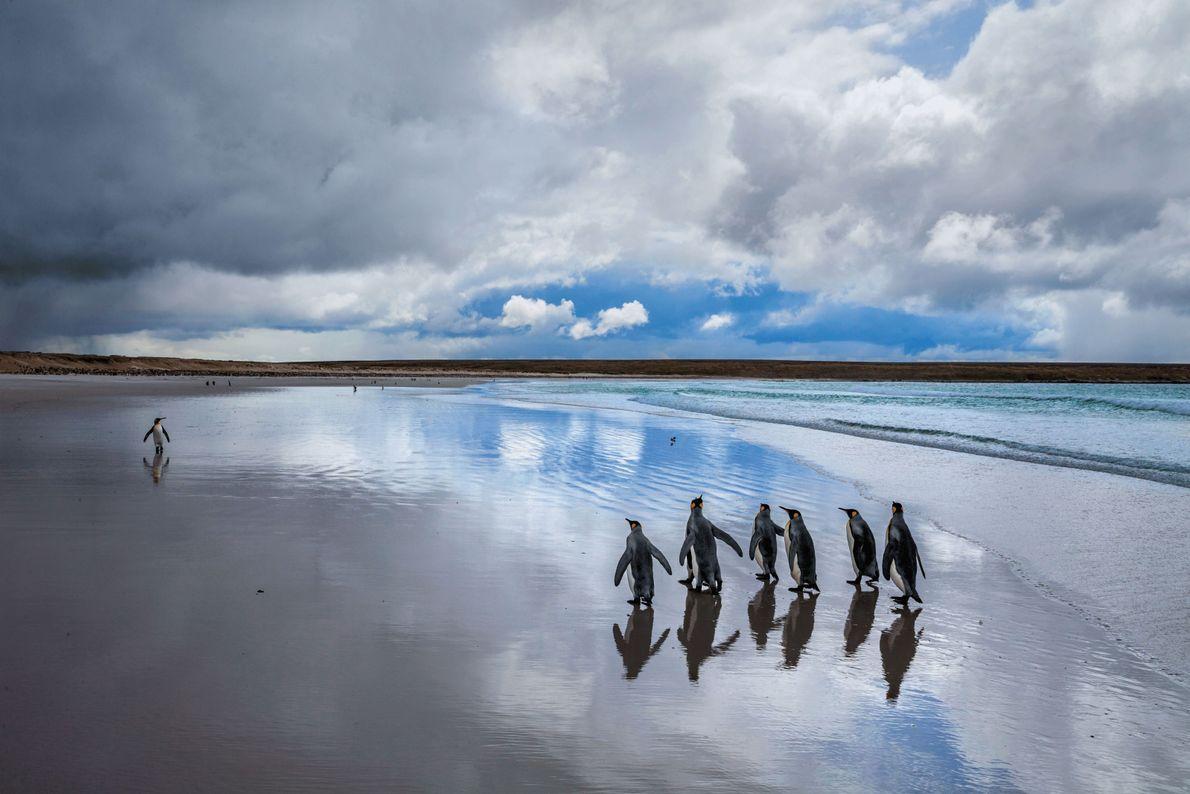 Des manchots royaux à Volunteer Point, sur l'île Malouine orientale. La petite population initiale, observée dès ...