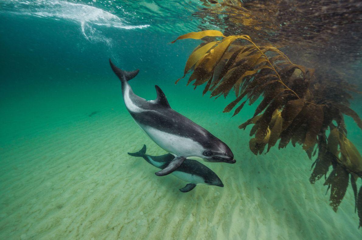 Près de New Island, des dauphins de Peale nagent près de la côte, où ils viennent …