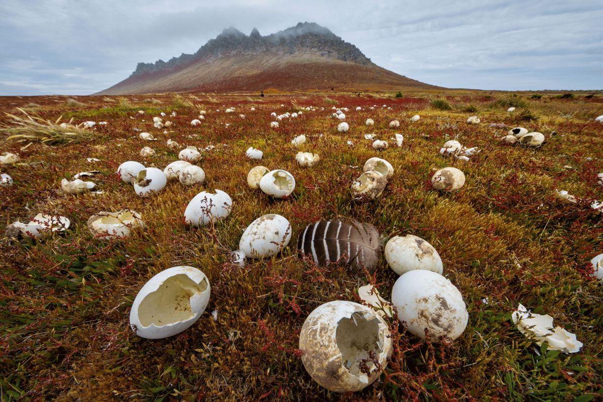 Des coquilles d'œufs brisées par des prédateurs tels que les labbes antarctiques (qui mangent surtout d'autres …