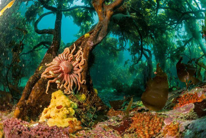 Une étoile de mer s'accroche à des algues géantes, au large de l'île Bird. Les Malouines ...