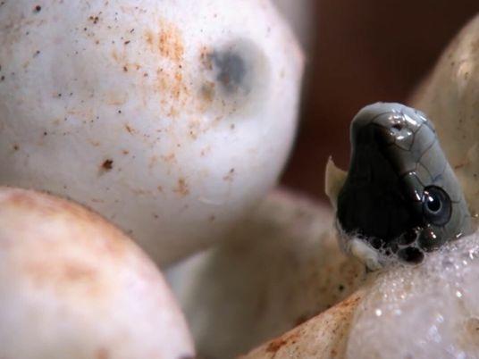 Naissance d'une nouvelle génération de mambas noirs