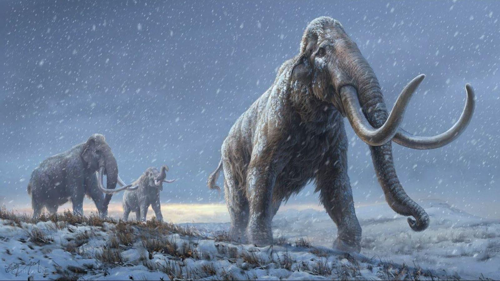 Il y a un million d'années, les mammouths des steppes de Sibérie possédaient les adaptations génétiques ...