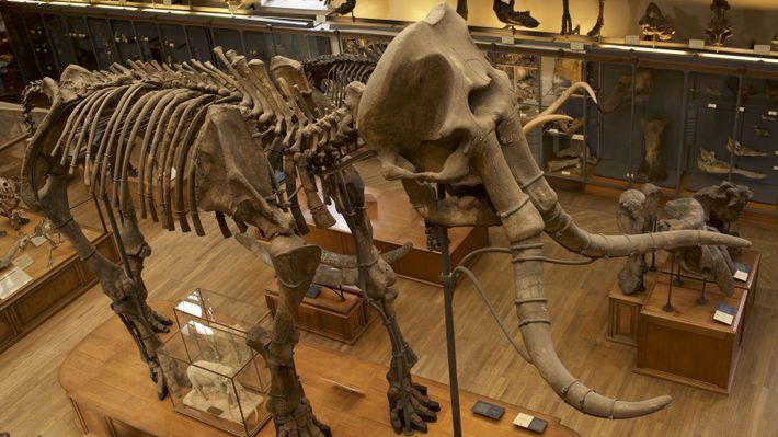 Les travaux archéologiques pour mettre au jour le mammouth de Durfort ont duré près de 4 ans. Des ...