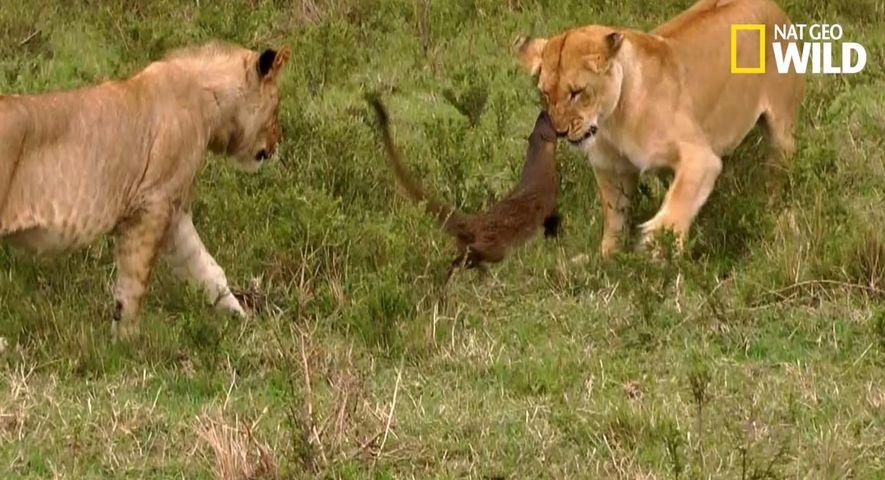 Une mangouste attaque des lions