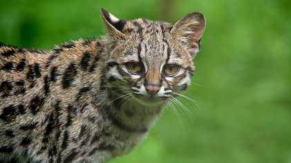 Voici le margay, un petit prédateur de la taille d'un chat