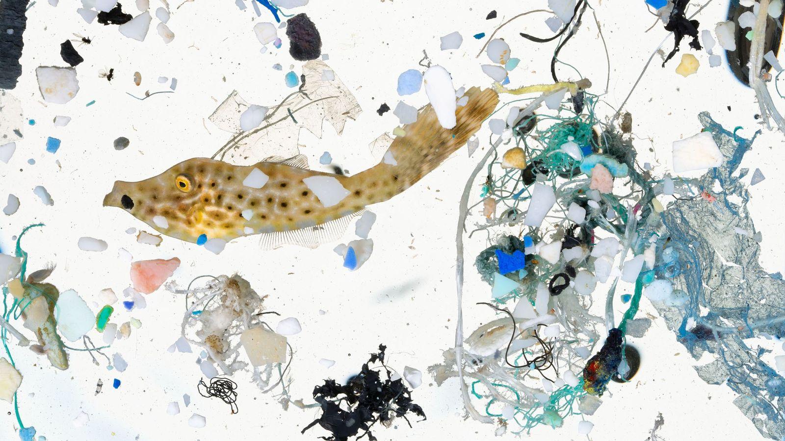 La vie marine et de minuscules morceaux de plastique ont été recueillis dans un échantillon d'eau ...