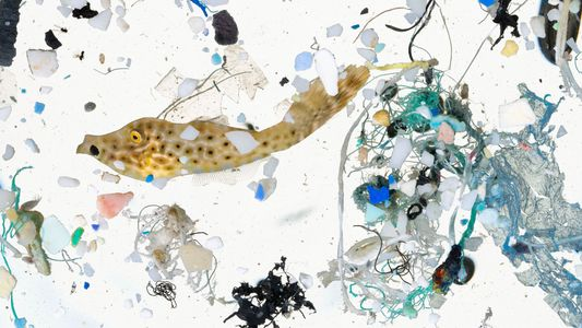 Les poissons doivent désormais apprendre à naviguer entre les morceaux de plastique