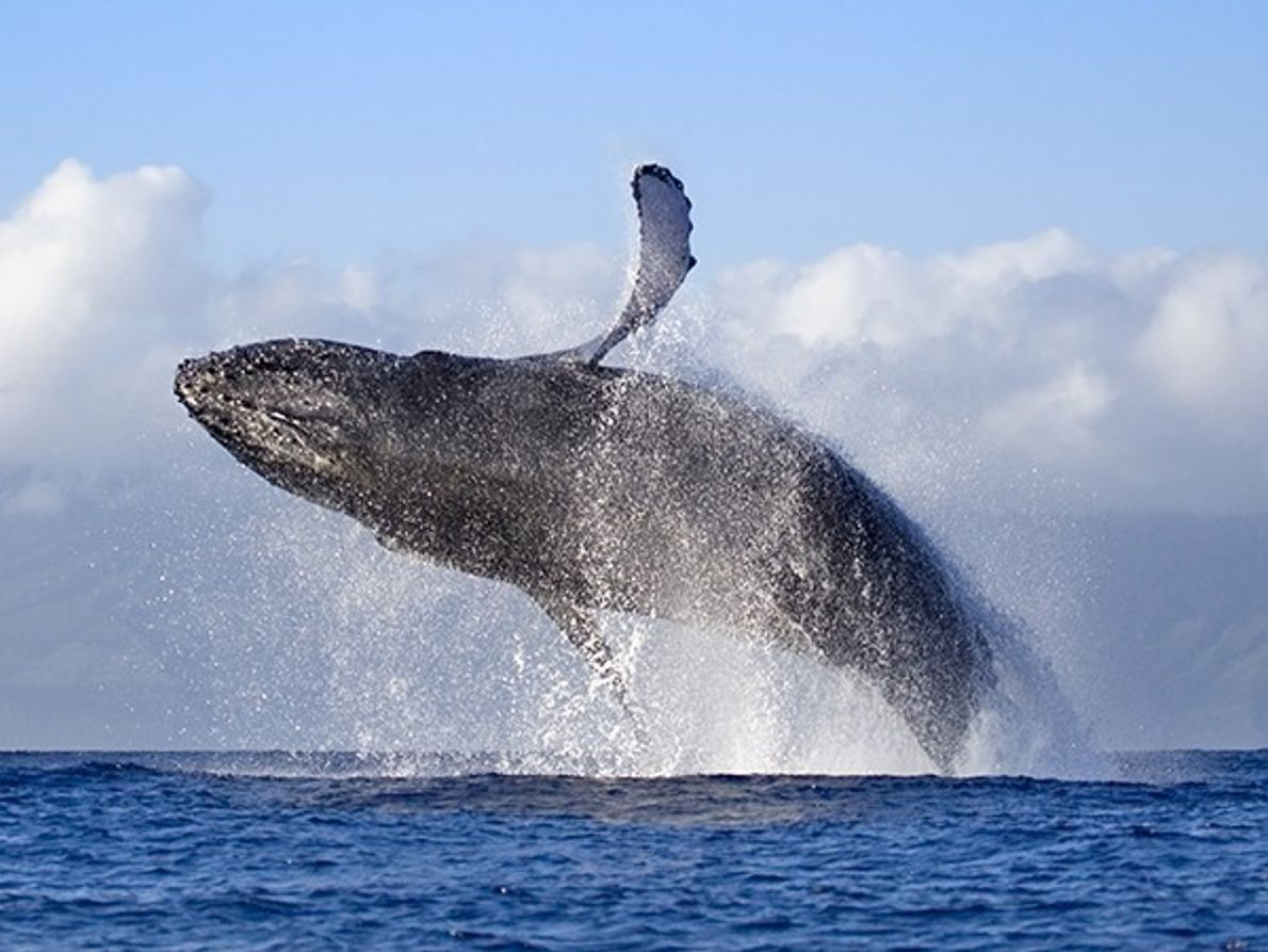 Les baleines à bosse, Maui