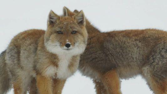 Le renard du Tibet : l'espèce la plus craquante des montagnes