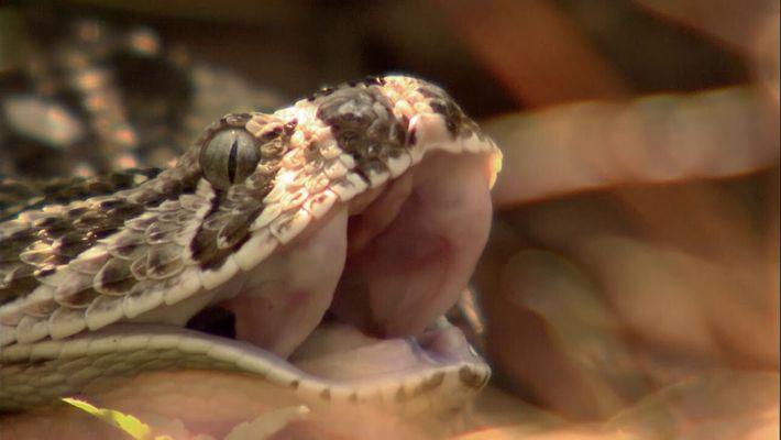 La vipère heurtante : serpent le plus rapide du monde