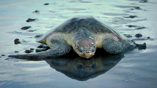 Des centaines de tortues de mer retrouvées mortes au Salvador
