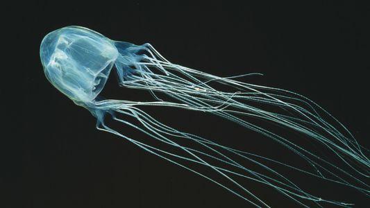 Les méduses meurtrières d'Australie