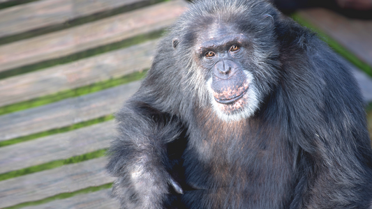 Rencontre avec les chimpanzés disponible sur Disney+