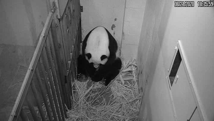 Mei Xiang donne naissance à son bébé au zoo national de Washington. Pendant les premières semaines ...