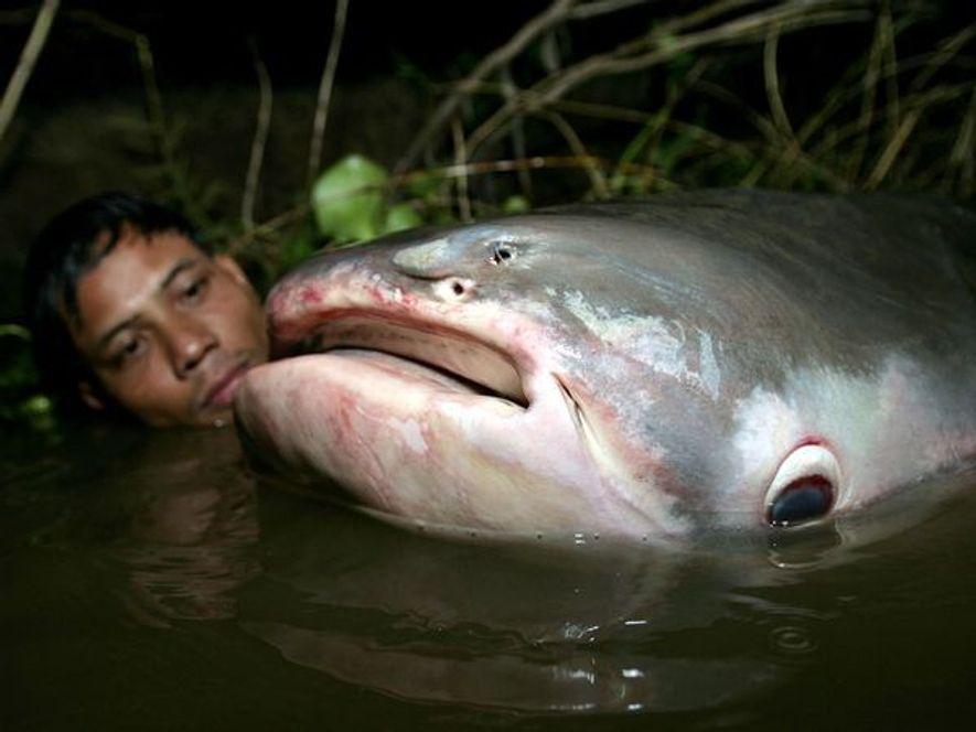 Un homme cambodgien observe un poisson-chat géant du Mékong sur le Tonlé Sap. Des pêcheurs ont ...