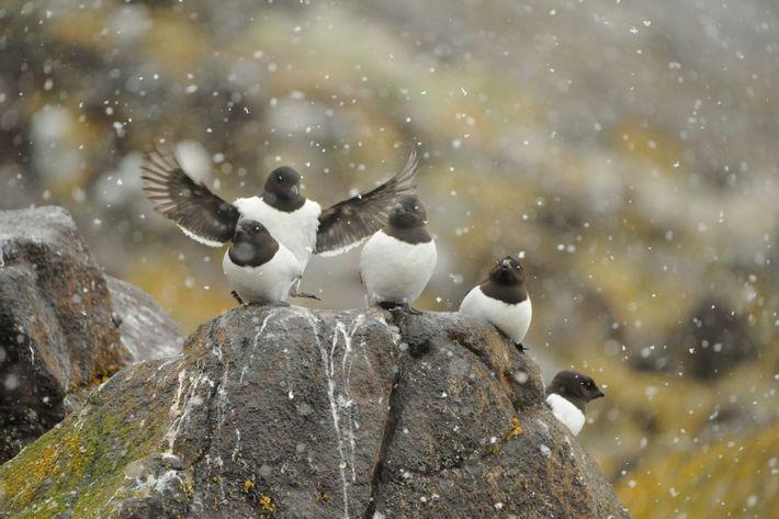 Cinq mergules nains (Alle alle), une espèce d'oiseau très répandue en Arctique, sous la neige.