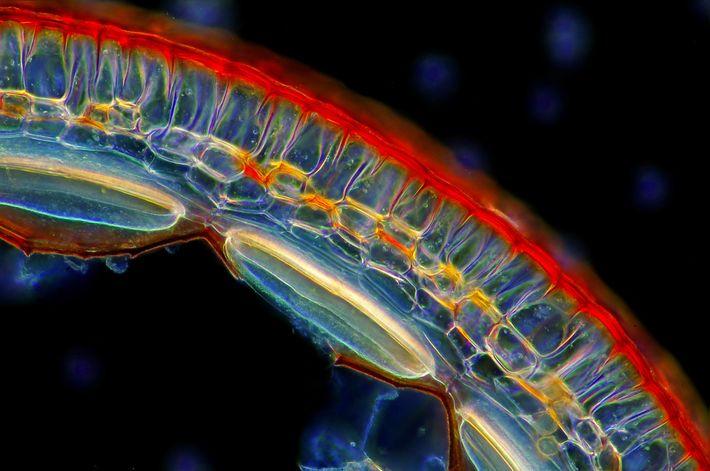 Pour se reproduire, la mousse unit son sperme et son ovule, formant une cellule qui grossit ...