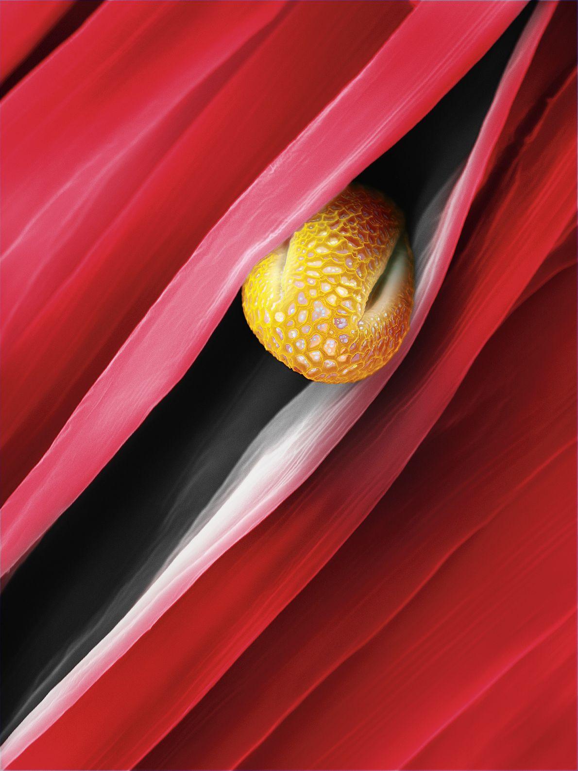 Mis bout à bout, il faudrait plus de 1 400 grains de pollen du saule marsault ...