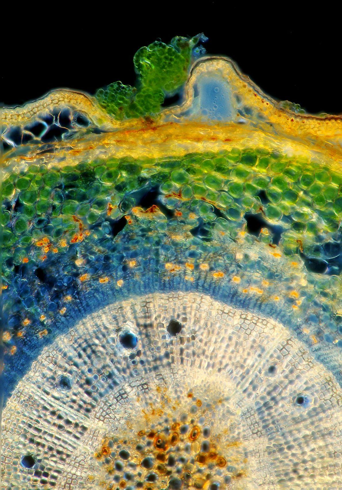 Sur cette coupe transversale, il est possible de voir des algues vertes qui tachent la surface ...