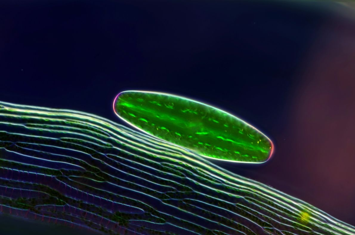 Sous la lumière polarisée, l'algue unicellulaire Netrium scintille, posée sur une feuille de sphaigne.