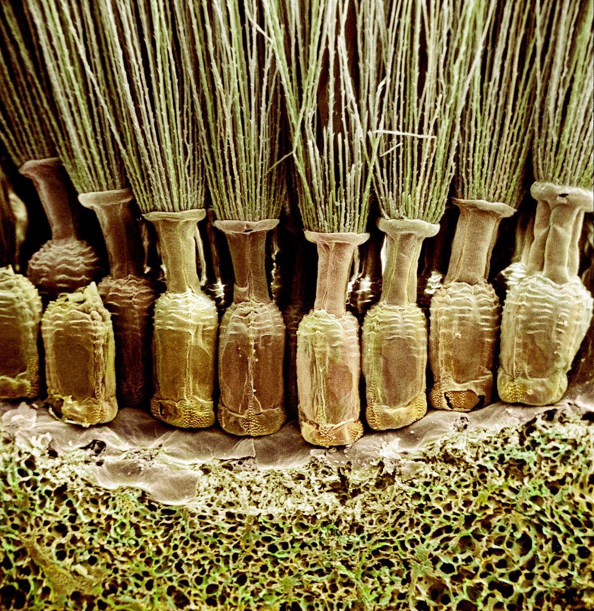 Bien qu'elles ressemblent à des amphores remplies d'herbes, ces structures sont en réalité les fruits verts ...