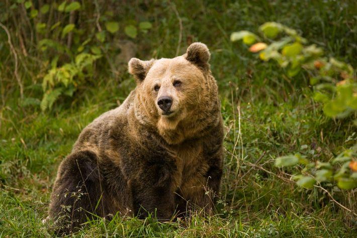 Les ours bruns de Cantabrie errent encore librement dans certaines régions montagneuses des Asturies, y compris ...