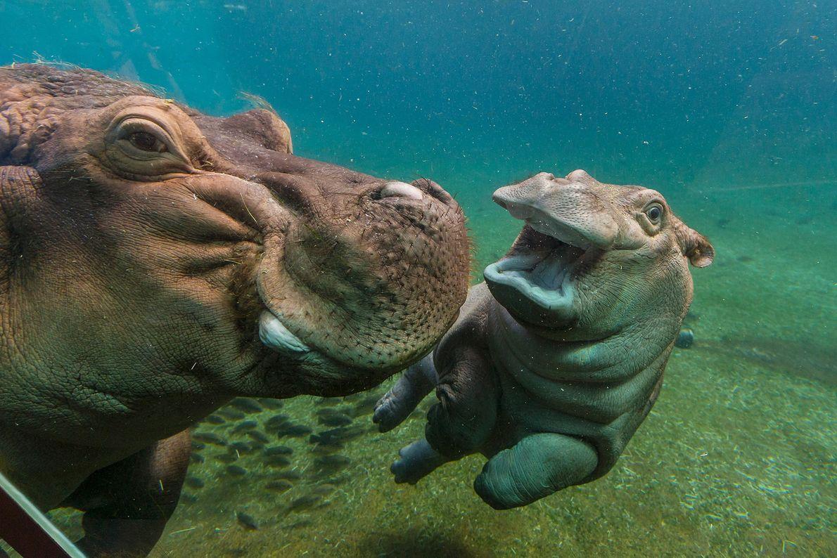 C'est souvent dans l'eau que naît bébé hippopotame même si maman doit le remonter à la ...