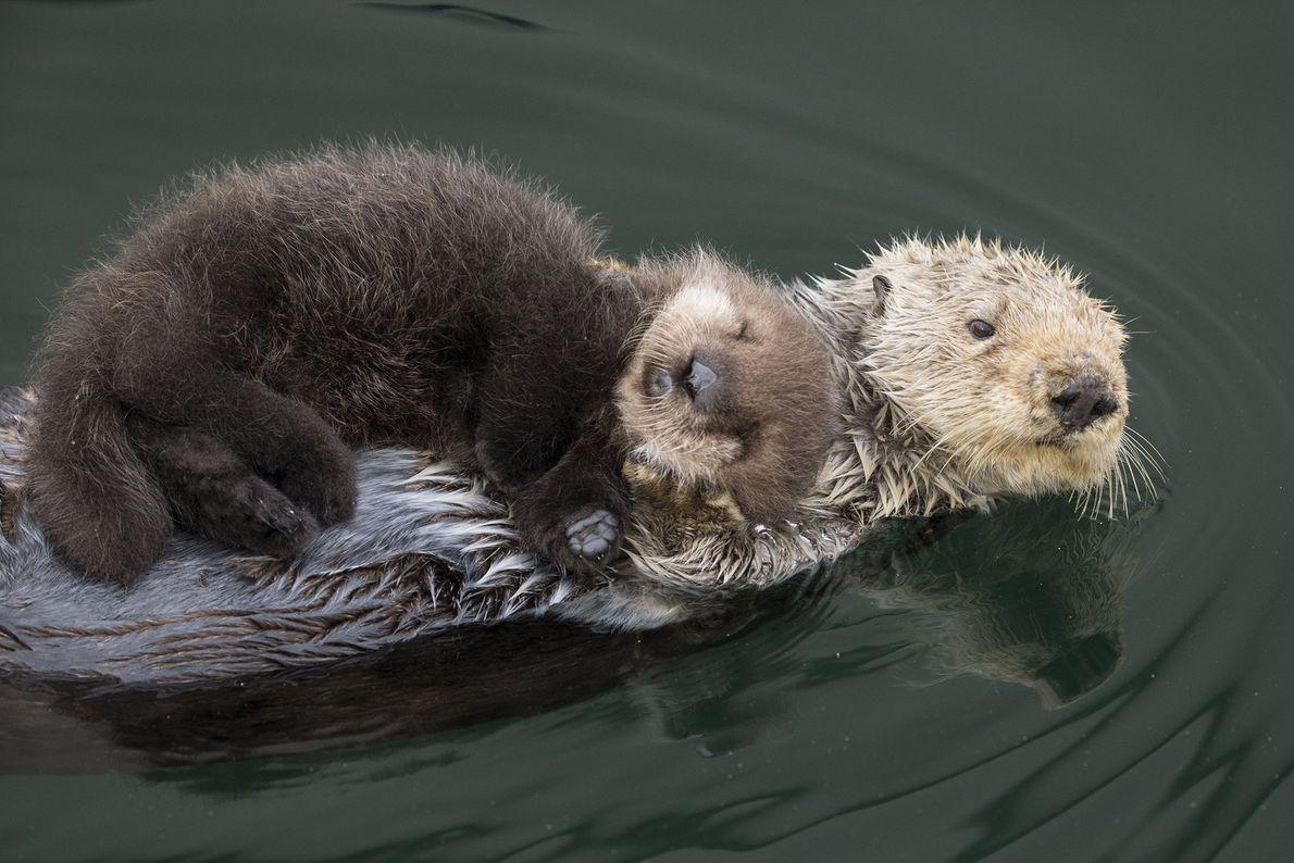 Un petit Enhydra lutris de trois jours est paisiblement couché contre sa maman dans la baie ...