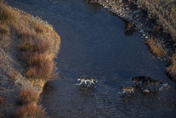 Une meute de loups traverse un ruisseau dans le parc national de Yellowstone.