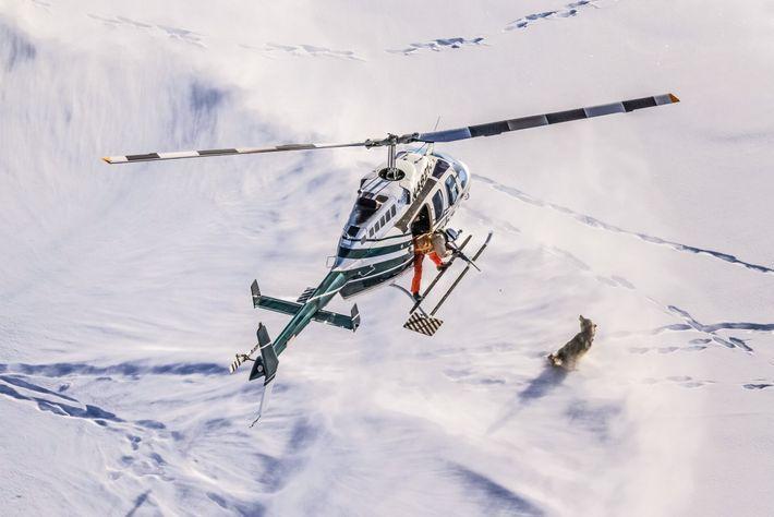 Des scientifiques à bord d'un hélicoptère de repérage suivent un loup dans le parc national de ...