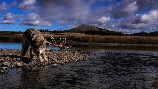 Un loup marque une pause au bord de Pelican Creek, dans le parc national de Yellowstone. Les ...