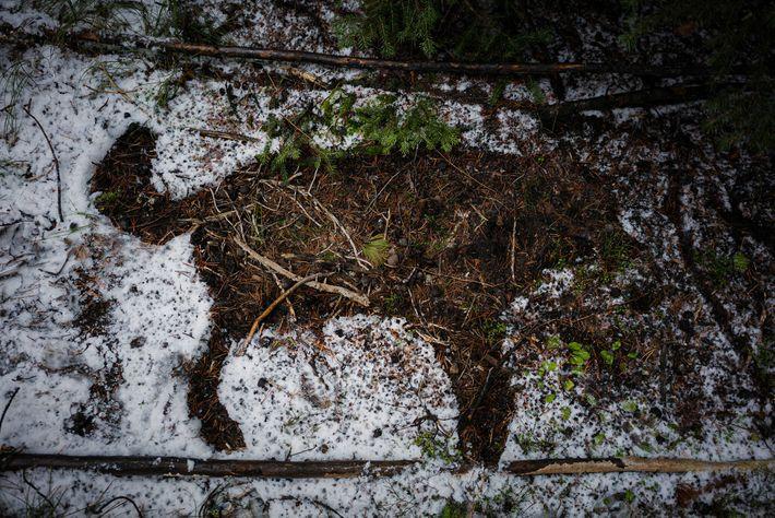 La silhouette d'une louve morte dans le parc national de Yellowstone est dessinée dans la neige. ...