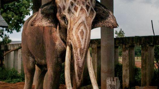 Baptisé Thong Bai, cet éléphant qui est apparu dans les publicités pour la bière Chang figure ...
