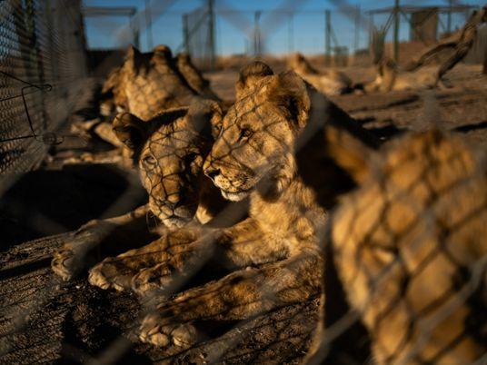 Afrique du Sud : vers une fin de la captivité des lions ?