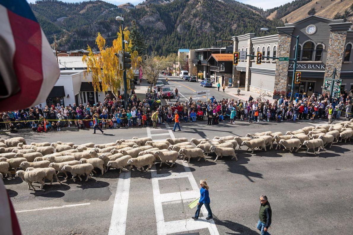 Des milliers de brebis défilent dans le centre-ville de Ketchum, dans l'Idaho, lors du festival Trailing …