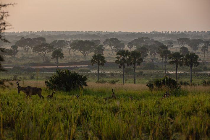 Généralement, les braconniers installent leurs pièges dans le parc de Murchison Falls le matin et repassent ...